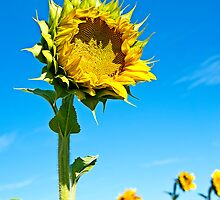 Mississinewa Sunflower Standing Tall by Lee Craig