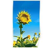 Mississinewa Sunflower Standing Tall Poster