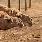 Curious Camels by Ray Warren