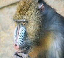 Magnificent Mandrill by Ray Warren