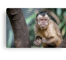 Cute Capuchin Monkey II Canvas Print