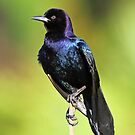 Boat tailed Grackle by jozi1