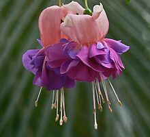 Fuchsia Pair by Margaret Saheed