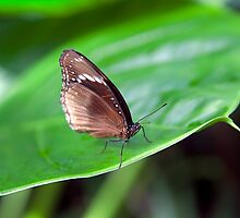 Brown Butterfly II by Ray Warren