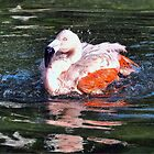 Chilean Flamingo by venny