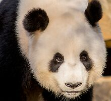 Giant Panda II by Ray Warren