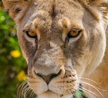 Those Lion Eyes by Ray Warren
