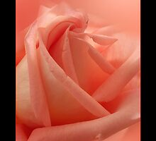 Pink Rose by didibaev