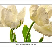 White Parrot Tulips by didibaev