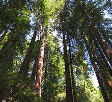 Muir Woods by Zorrria