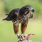 Falcon by Werner Padarin