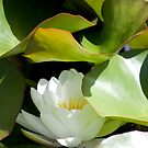 Werai Water Lily by Samantha Bailey