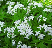 Woodruff at spring by Brevis