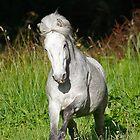 A Beautiful Eriskay Pony Stallion by blueinfinity