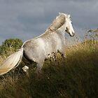 An Eriskay Pony by blueinfinity