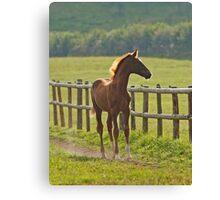 Chestnut Foal Canvas Print
