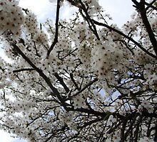 White Blossoms in Spring by Brevis