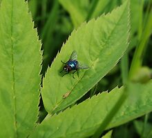 Colorful fly on a leaf by Brevis
