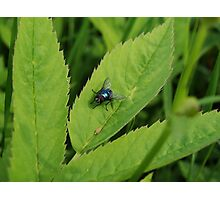 Colorful fly on a leaf Photographic Print