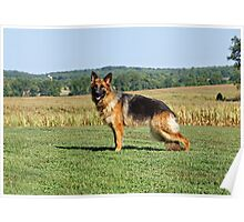 Queena German Shepherd Poster
