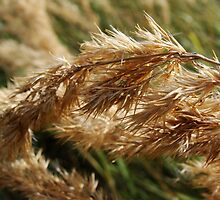 Autumn grass by Brevis