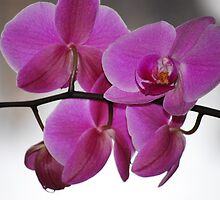 Purple Orchid by Arthur  Chin Yet