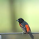 Orchard Oriole by Janice Carter