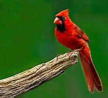 Cardinal by Janice Carter