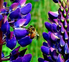 The Lupin & The Honey Bee by Kathleen Daley