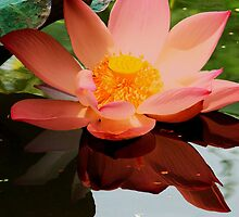 lotus on pond by demor44