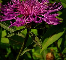 Damselfly and Knapweed by PineSinger