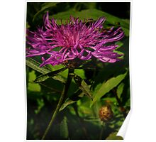 Damselfly and Knapweed Poster