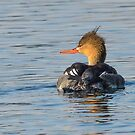 Red-breasted Merganser by Nancy Barrett