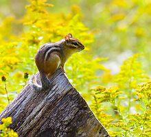 Chippie in the Meadow by Nancy Barrett