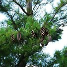 Pine Cones at Dusk by MidnightMelody