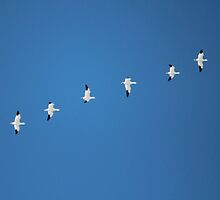 Snow Geese Flying by hummingbirds