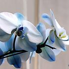 Misty Blue Persuasion ~ Orchids by SummerJade