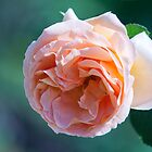 Peachy Rose by jayneeldred