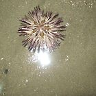 Purple Sea Urchin by Melissa, Sue Ball