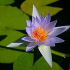 Brilliant Water Lily by Michael Matthews