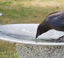 Thirsty crow by Rod Raglin