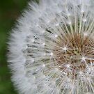 Delicate Dandelion by Helen Greenwood
