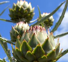 Artichoke flowers by juliedawnfox