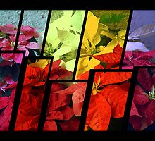 Mixed color Poinsettias 3 Tinted 2 by Christopher Johnson