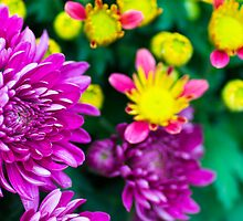 Chrysanthemum multi-colours by Wing Yau Au Yeong