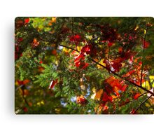 maple leaves on fir Canvas Print