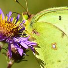 Clouded Sulphur by Nancy Barrett