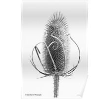 Teasel Tracery Poster