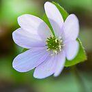 Harbinger of Spring:  Sharp-lobed Hepatica by Nancy Barrett