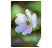 Harbinger of Spring:  Sharp-lobed Hepatica Poster